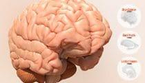 Hybrid Interactive Brain